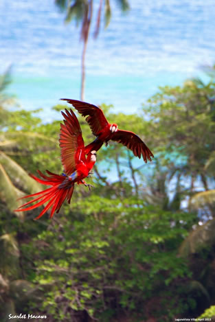 Fighting Macaws