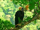 Blackheaded Vulture