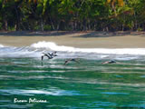 Brown Pelicans over surf