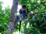 Coati in Tree