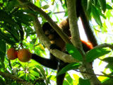 Spider Monkey with Mango