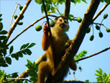 Squirrel Monkey Eating