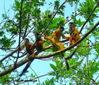 Squirrel Monkeys Pose
