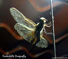 Dragonfly Tinkerbell