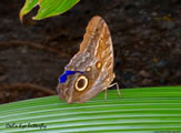 Owls Eye Butterfly